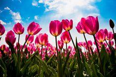 Tulpen - tulips - tulipes - tulipanes - tulipea