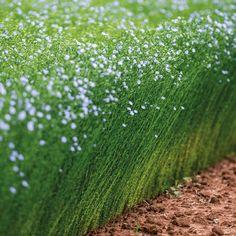 Belgian Linen 101 — My Soulful Home Flax Flowers, Wild Flowers, Forest Sunset, Flax Fiber, Magical Forest, Dark Forest, Flax Plant, Sun Garden, Medicinal Plants