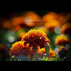 Marigolds .