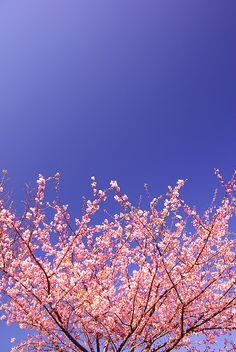 cherry blossoms  #FlowerShop