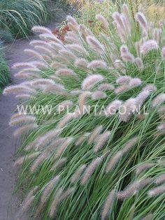Flesseborstelgras / Lampenpoetsersgras | Pennisetum alopecuroides 'Cassian'