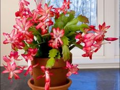 Secrets to successfully caring for a Christmas cactus
