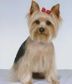 Comprehensive guide to the perfect Yorkie Haircuts for males and females. Get inspired from 100 + pictures of different short and long Yorkshire terrier hairstyles. Also see what are the most popular cuts for your pup. Yorkshire Terrier Teacup, Yorkshire Terrier Haircut, Yorkshire Terrier Puppies, Rottweiler, Yorkie Hairstyles, Yorshire Terrier, Bull Terriers, Dog Haircuts, Yorkie Puppy