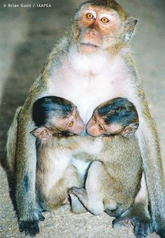 Animal Liberation For These Pictured Macaque Monkeys. Rescued, Saved From Cruel Research By The International Association Against Painful Experiments On Animals