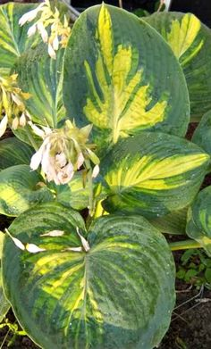 Perennials Simply Sharon Hosta - Shade Perennial Giant Hosta Plant - Giant Hosta Cultivar Beautiful hosta with thick leaves that have a narrow gold center with wide blue-green margins and light green between the two. Shade Garden Plants, Hosta Plants, Shade Perennials, Foliage Plants, Growing Flowers, Planting Flowers, Dream Garden, Garden Art, Giant Hosta
