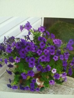 Petunia's Are Blooming