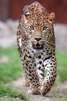 predator-era: By Helmut Lager Wild Animals Photos, Animals And Pets, Cute Animals, Animal 2, Mundo Animal, Beautiful Cats, Animals Beautiful, Interesting Animals, Leopards