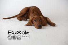 Dogs, models, photography, pets, buxok photo sesión de fotos en fondo blanco o de recorte agencia de fotografía