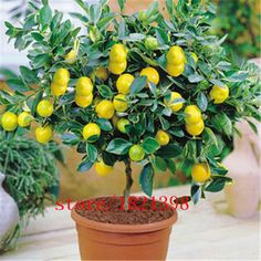 Cheap plants for homes, Buy Quality lemon seeds directly from China bonsai tree seeds Suppliers: 40 pcs/bag Fruit seeds lemon tree juicy organic bonsai tree seeds sour and Sweet lime lemon seeds potted plant for home garden Garden Plants, Indoor Trees, Outdoor Gardens, Houseplants, Lemon Seeds, Citrus Trees, Plants, Planting Flowers, Gardening Tips