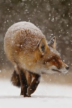 tulipnight:  Fox' First Snow by Roeselien Raimond