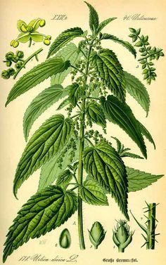 Herbal Medicine Nettle Root May Help Multiply the Effectiveness of Your Androgens: - Stinging Nettle Root extract can help to naturally prevent male hormones converting to estrogen. Buy high-quality Nettle Root powder online here. Healing Herbs, Medicinal Plants, Botanical Drawings, Botanical Prints, Flora, Illustration Botanique, Wild Edibles, Herbal Medicine, Medicine Bag