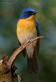 Tickell's blue flycatcher (Cyornis tickelliae) is an insectivorous species which breeds in tropical Asia.