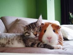仲良しなモルモットと猫