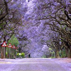 Jacaranda season in Queensland University Campus (Australia)