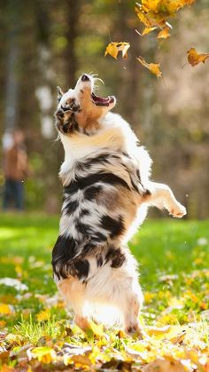 AUSTRALIAN SHEPHERD....a herding dog....affectionate, alert, energetic, independent, intelligent, loving, loyal, protective, responsive....20-23 inches tall....50-65 pounds....moderate shedding....low drooling....good with kids and other pets