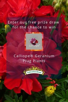 Enter the Cultivation Street free prize draw for the chance to win Calliope® Geranium Plug Plants Prize Draw, Colorful Garden, Geraniums, Plugs, How To Find Out, Seasons, Christmas Ornaments, Street, Holiday Decor
