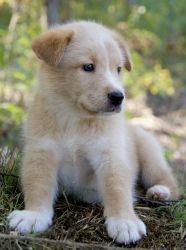 Dakota~ is an adoptable Golden Retriever Dog in Pearl River, NY. Dakota is a sweet little 8 week old male Husky/Golden Retriever puppy surrendered to our rescue in TN. His mother is a Husky, and his f...