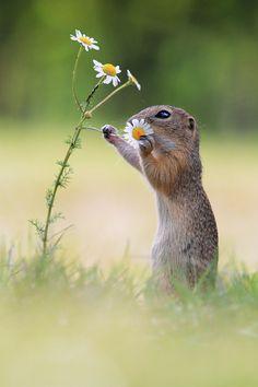 European Ground Squirrel, Wildlife 2014, Austria-Vienna Contact: julian.rad@gmx.at