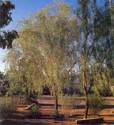 1000 images about desert plants tree on pinterest for Fast growing drought tolerant trees
