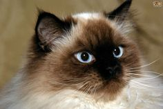 Himalayan Cat Breed Information, Buying Advice, Photos and more . Cat Breeds List, Fluffy Cat Breeds, Cat Water Fountain, Himalayan Cat, Interactive Cat Toys, Long Haired Cats, Types Of Cats, Fish Cat Toy, Dog Facts