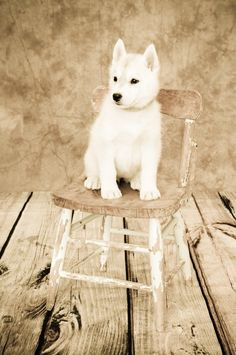 #huskypuppies #reno #petphotography #petportraits #dogs #pricelessimagephotography