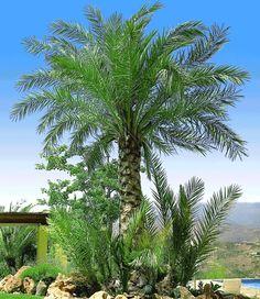 Chilenische Honig-Palme