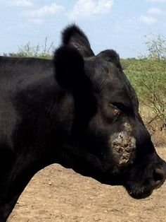 Add to Favorites By Heather Smith Thomas – It's important to know the various snakebite symptoms in case you need to take action in a quick manner. Horses and cattle … Cattle Farming, Livestock, Rattlesnake Bites, Cow Tipping, Farm Layout, Beef Cattle, Horses And Dogs, Very Scary, Ranch Life