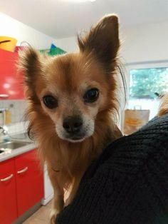 Bitte fleißig teilen   Chihuahua Buddy  Er sucht dringend ein schönes Gnadenplätzchen. Buddy vermisst sein Herrchen so so so sehr :-(  Er kann sich aus gesundheitlichen Gründen nicht mehr um ihn kümmern. Wir suchen für ihn ein neues Zuhause. Es darf gerne wieder bei einem älteren Menschen sein der sich um ihn kümmert und ihn einfach nur lieb hat. Andere Tiere und Kinder duldet er nicht. Er möchte seinen Mensch ganz für sich alleine haben! Mit seinen 12 Jahren ist er noch super fit und gehe…