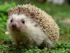 Baby hedgehog on runway delays flight Cute Funny Animals, Cute Baby Animals, Animals And Pets, Small Animals, Hedgehog Illustration, Baby Hedgehog, Hedgehog House, Tier Fotos, Woodland Creatures