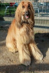 Afghan Hound: History, Temperament, Care, Training & more