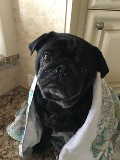 500 Montreal Life With A Boston Pug Turtle Ideas In 2020 Boston Terrier Black Pug Terrier