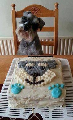 Mika the Minature Schnauzer loves her birthday cake.