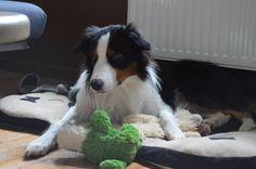 Ipso Border Collie, Dogs, Animals, Animales, Animaux, Pet Dogs, Doggies, Animal, Animais