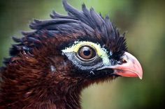 Extinct in the Wild: Alagoas Curassow The last (unconfirmed) sighting of this species was in the late 1980s and it is now Extinct in the Wild. There are two captive populations and, an apparently suitable forest remnant has been identified for future reintroduction efforts