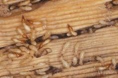 Practical Systems Of Termite Control Cost - Updated	  https://naturaltermitecontrolaustralia.wordpress.com/2015/08/31/termite-control-cost/