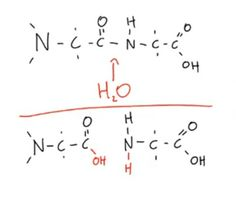 This condensation reaction forms a dipeptide from two