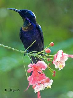 Copper-throated Sunbird, Indonesia, Malaysia, the Philippines
