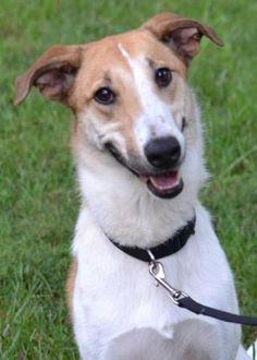 Morgan is an adoptable Greyhound, Whippet Dog in White Plains, NY To adopt please fill out an adoption  http://www.happydogrescue.org/Application595.htmlMorgan ... ...Read more about me on @petfinder.com