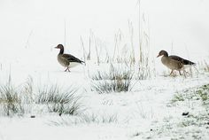 Into the white, wide world by steppeland; ducks in snow