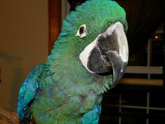 Hyacinth Harlequin Hybrid Whoopie is a hybrid macaw: a Hyacinth and a Harlequin mix.