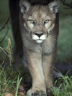Mesmerising Glare of a Stalking Puma Hunting Prey, Australia Photographic Print by Jason Edwards at AllPosters.com