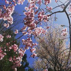 koyasan_nanzanbou 桜花に陽光が降りそそぎ、鳥のさえずりが響く空の下。 #高野山 #koyasan #sakura #spring #春 ##サクラ  #空 #sky #cherryblossom #april #wakayamagram Mount Kōya 2017/04/25 09:58:10
