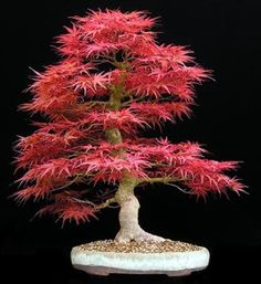 Acer Palmatum / Japanese Red Maple - Wow, want to have one of these!
