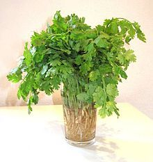 Coriander (Coriandrum sativum), also known as cilantro, Chinese parsley or is an annual herb in the family Apiaceae. Coriander is native to regions spanning from southern Europe and North Africa to southwestern Asia. Coriander Spice, Coriander Cilantro, Fresh Coriander, Parsley, Chipotle Lime Rice, Cilantro Lime Rice, June Flower, Succession Planting, Spices And Herbs