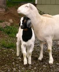 Google Image Result for http://www.sheepandgoat.com/Images/georgeandfriend.JPG