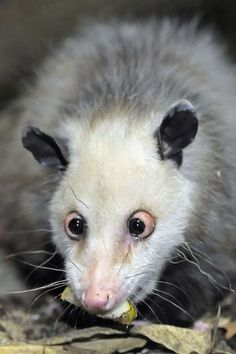 Yes, it's real! This opossum was born cross-eyed, making her even cuter in our opinion.