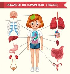 The Human Body, Human Body Organs, Human Body Systems, City Illustration, Medical Illustration, Cool Coloring Pages, Coloring Books, Illustrations Médicales, Body Anatomy