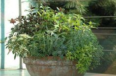 Wiele ziół z powodzeniem mozna uprawiać w doniczkach na balkonie. zioła można sadzić w pojemnikach pojedynczo, albo tworzyć z nich dekoracyjne kompozycje. Zobacz ZDJĘCIA ZIÓŁ w kompozycjach.