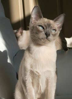 TONKINESE : Tonkinese are a domestic cat breed produced by crossbreeding between the Siamese and Burmese. They share many of their parents' distinctively lively, playful personality traits and are similarly distinguished by a pointed coat pattern in a variety of colors ---- READ MORE http://en.wikipedia.org/wiki/Tonkinese_cat