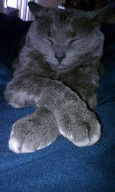 Ladylike Russian Blue Kitty Peanut #Cats #Cute #RussianBlue